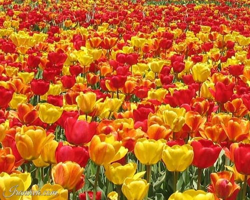 Gachsar Tulip Garden in iran - Iran Tours & Travel
