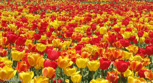 Tulip Garden Gachsar of Chalus - Best Photos of Iran - Iranviva